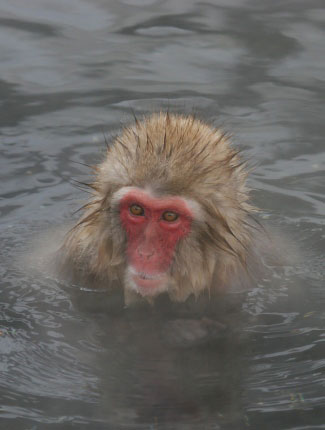 Photograph of Snow Monkey