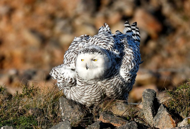 Photograph of Snowy Owl