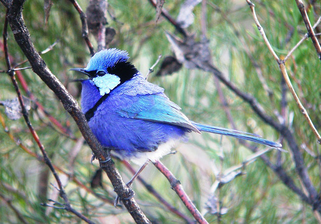 Photograph of Splendid Fairywren