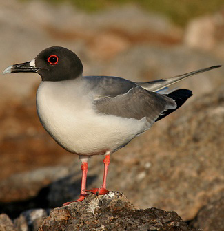 Photograph of Swallow-tailed Gull