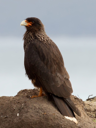 Photograph of Striated Caracara