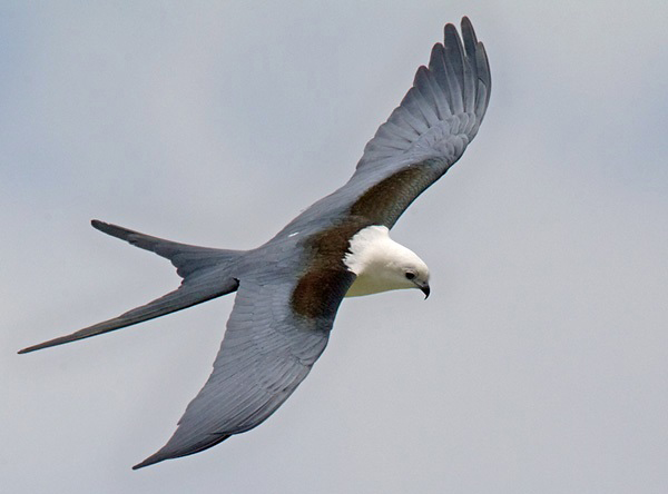 Photograph of Swallow-tailed Kite