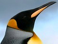 Photograph of King Penguin