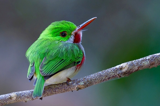 Photograph of Broad-billed Tody