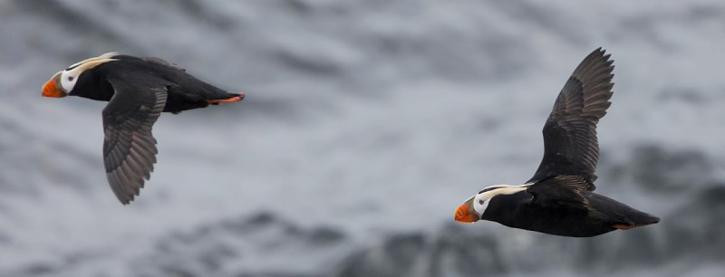 Photograph of Tufted Puffins