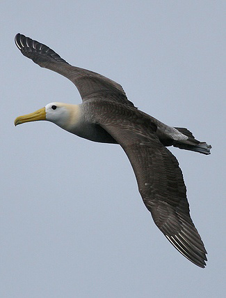 Photograph of Waved Albatross