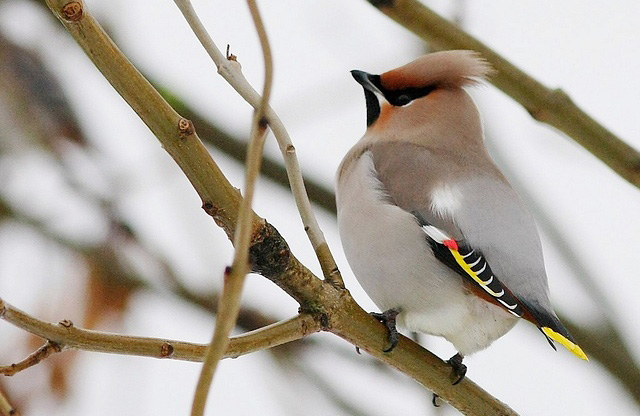 Photograph of Bohemian Waxwing