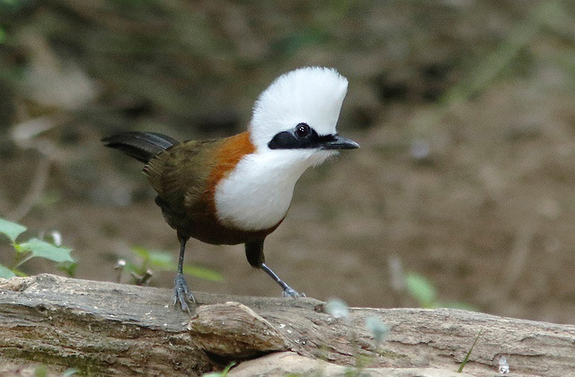 Photograph of White-crested Laughingthrush