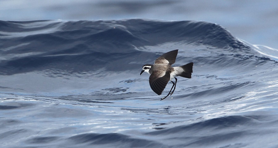 Photograph of White-faced Storm Petrel