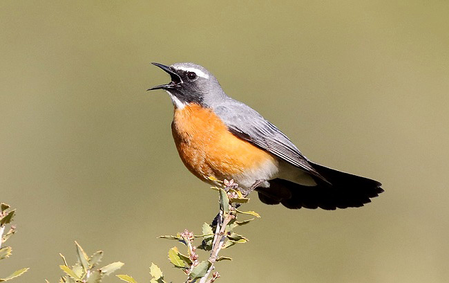 Photograph of White-throated Robin